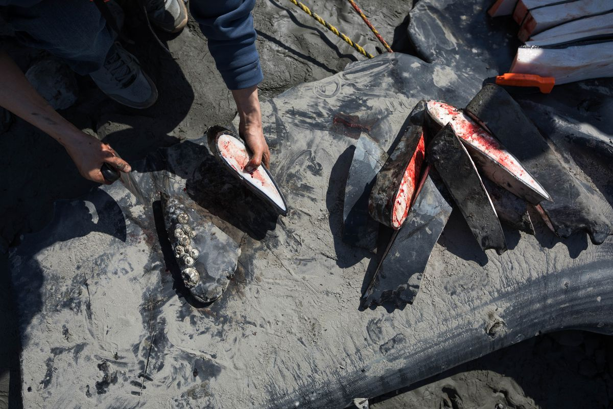 Darryl Therchik uses an ulu knife to cut pieces of a humpback whale flipper on Wednesday along Turnagain Arm. Therchik is an Alaska Native from Toksook Bay. The Marine Mammal Protection Act allows Alaska Natives to harvest meat and muktuk from whales for subsistence purposes. (Loren Holmes / ADN)