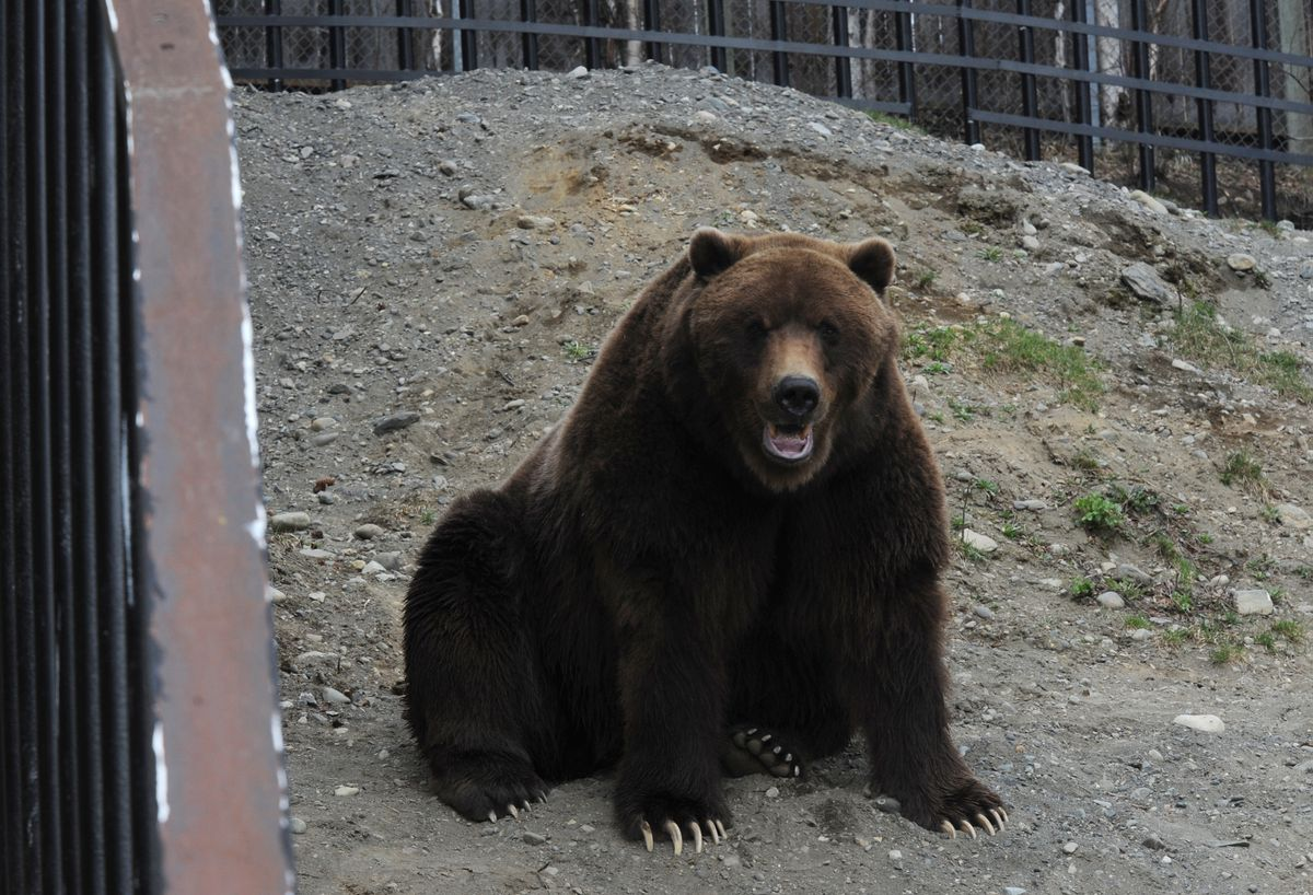 Jake the brown bear watches as Oreo gets food out of a regular garbage can on May 8, 2011, during a Bear Aware event on Mother's Day at the Alaska Zoo. Jake was a chief tester of bearproof trash cans in Alaska, zoo officials said. (Bill Roth / ADN)