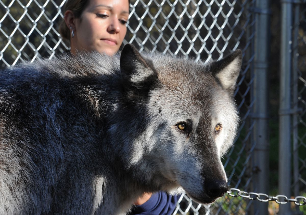 Alaska Zoo education director Stephanie Hartman pets 10-year-old Alaska gray wolf Denali on Oct. 5, 2016. (Bill Roth / ADN)