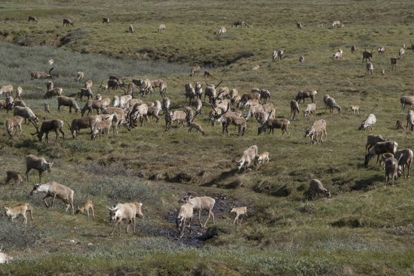OPINION: Closed-door meetings in Kotzebue may have kept lid on dissenting voices over ANWR wilderness. Pictured: The Porcupine Caribou Herd crosses the coastal plain of the Arctic refuge.