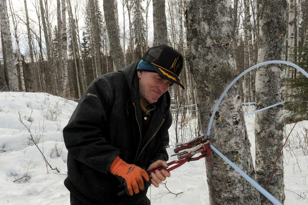 Gerald Keene uses a special tool to splice a tap line into the collection tubing at his 4 Trees Birch Syrup operation along the Parks Highway north of Wasilla, AK on Friday April 6, 2018. Keene gathered 2,000 gallons from 635 trees last year. Bob Hallinen / ADN)