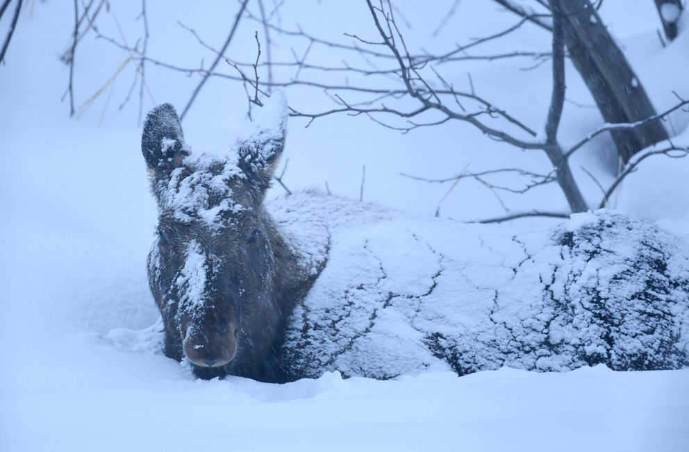 A young moose is covered with snow as it beds down at dusk on the edge of frozen Campbell Creek in south Anchorage on Wednesday, March 10, 2021. (Bob Hallinen Photo)