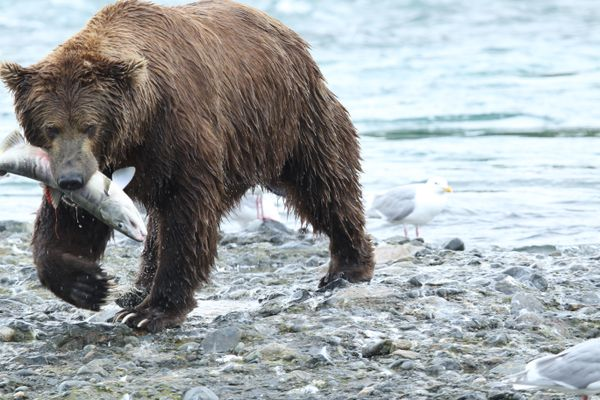 McNeil River bears fish for meals in 2016. (Courtesy Alaska Department of Fish and Game) ONE TIME USE