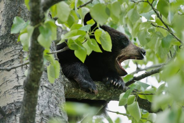 A black bear yawns in a tree near Arctic Valley Road. Three black bears could be spotted in the trees, brush and dandelions along Arctic Valley Road on June 11, 2018. (Marc Lester / Anchorage Daily News)