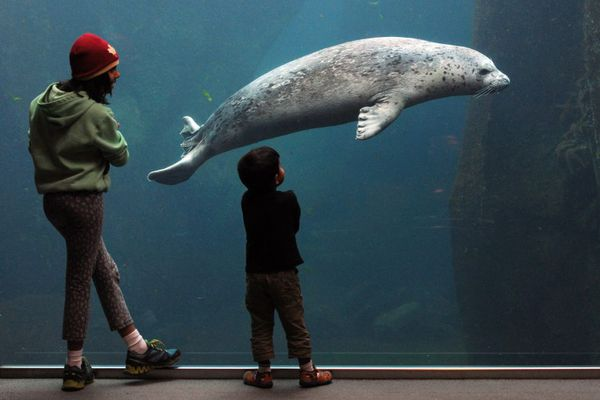 Visitors get an underwater view of 7-year-old harbor seal Tongass at the Alaska SeaLife Center. (Bill Roth / ADN)