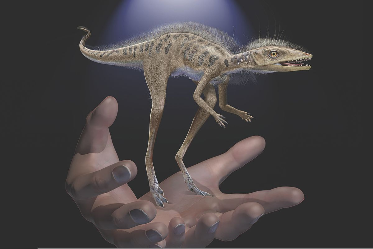 This illustration provided by the American Museum of Natural History in July 2020 depicts a Kongonaphon kely, a newly described reptile near the ancestry of dinosaurs and pterosaurs, shown to scale with human hands. Kongonaphon lived roughly 237 million years ago. (Frank Ippolito/American Museum of Natural History)