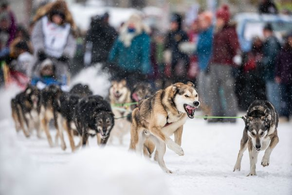 Dogs in Junior Iditarod winner Nicholas Sousa's team pull the 2020 honorary musher, Gail Phillips, on Saturday, March 7, 2020 during the ceremonial start of the Iditarod Trail Sled Dog Race in Anchorage. (Loren Holmes / ADN)