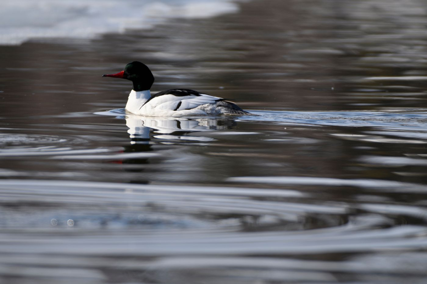 A common merganser swims at Westchester Lagoon on April 15, 2021. (Marc Lester / ADN)