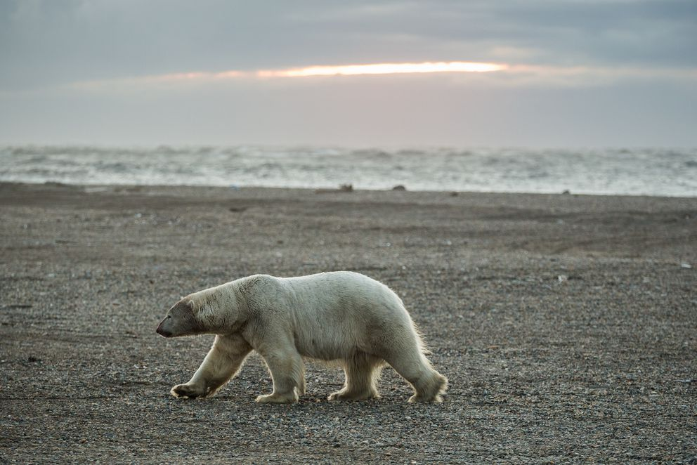 A polar bear walks along the beach in Kaktovik. (Alaska Dispatch News file)