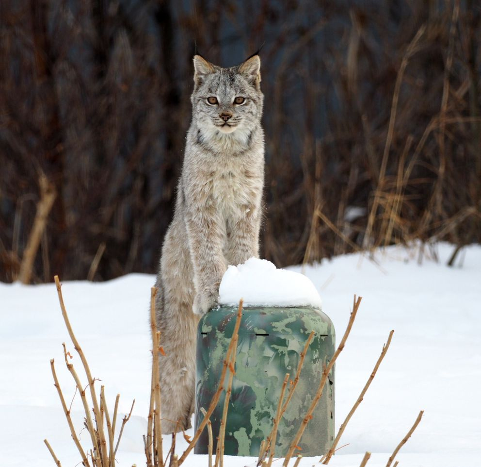 One of six lynx roaming an Anchorage Hillside property pauses to peer at the house. (Doug Vermillion)