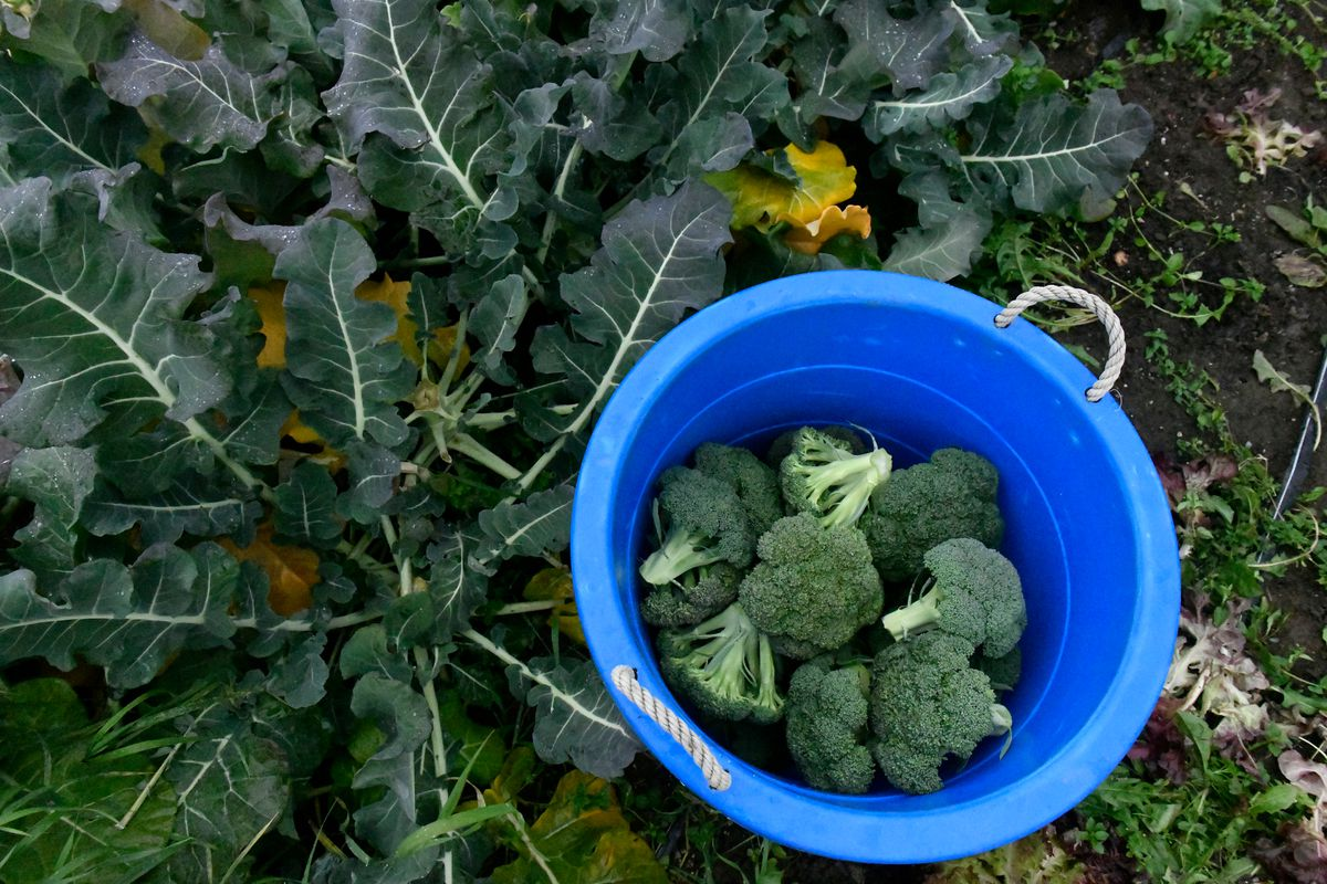 Broccoli is harvested at Sun Circle Farm in Palmer on September 17, 2020. (Marc Lester / ADN)