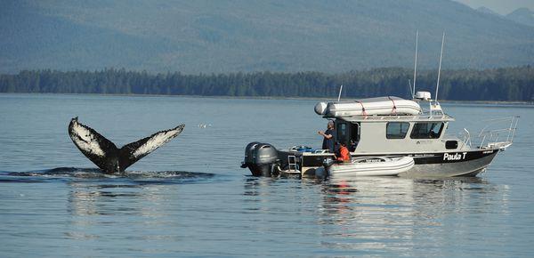 A humpback whale sounds near a boat as apod was bubble-net feeding in Frederick Sound. (Bob Hallinen / ADN)