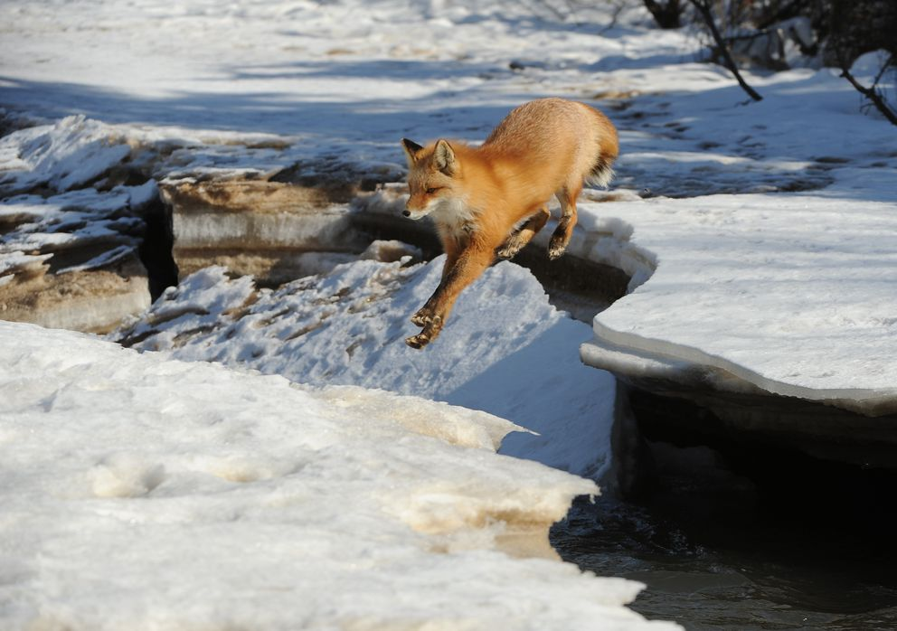 A fox leaps across a gap in the ice shelf. (Bob Hallinen / ADN)