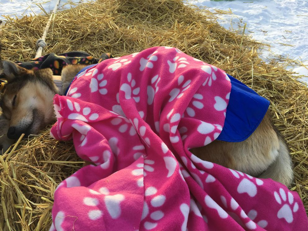 Muddy Waters, a 4-year-old team member for musher Karin Hendrickson takes a quick trip to dreamland on the Iditarod Trail. (Tegan Hanlon / Alaska Dispatch News)