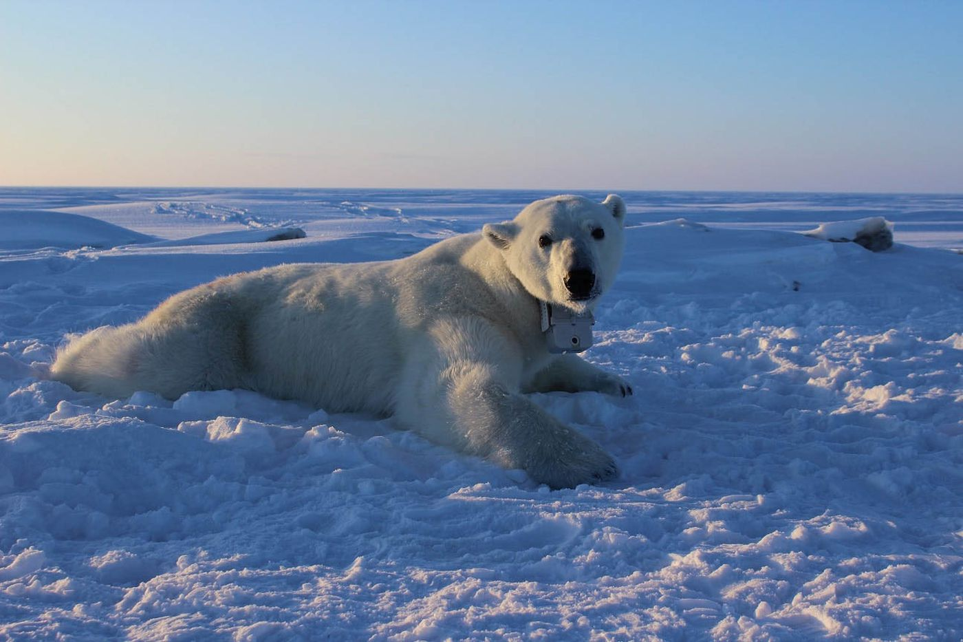 Polar bear wearing a GPS video-camera collar on the sea ice of the Beaufort Sea. (USGS photo by Anthony Pagano)