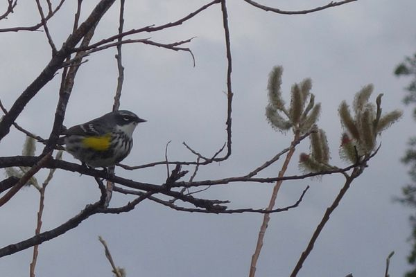 Songbirds like this yellow-rumped warbler would probably do better in a world without people. (Ned Rozell)
