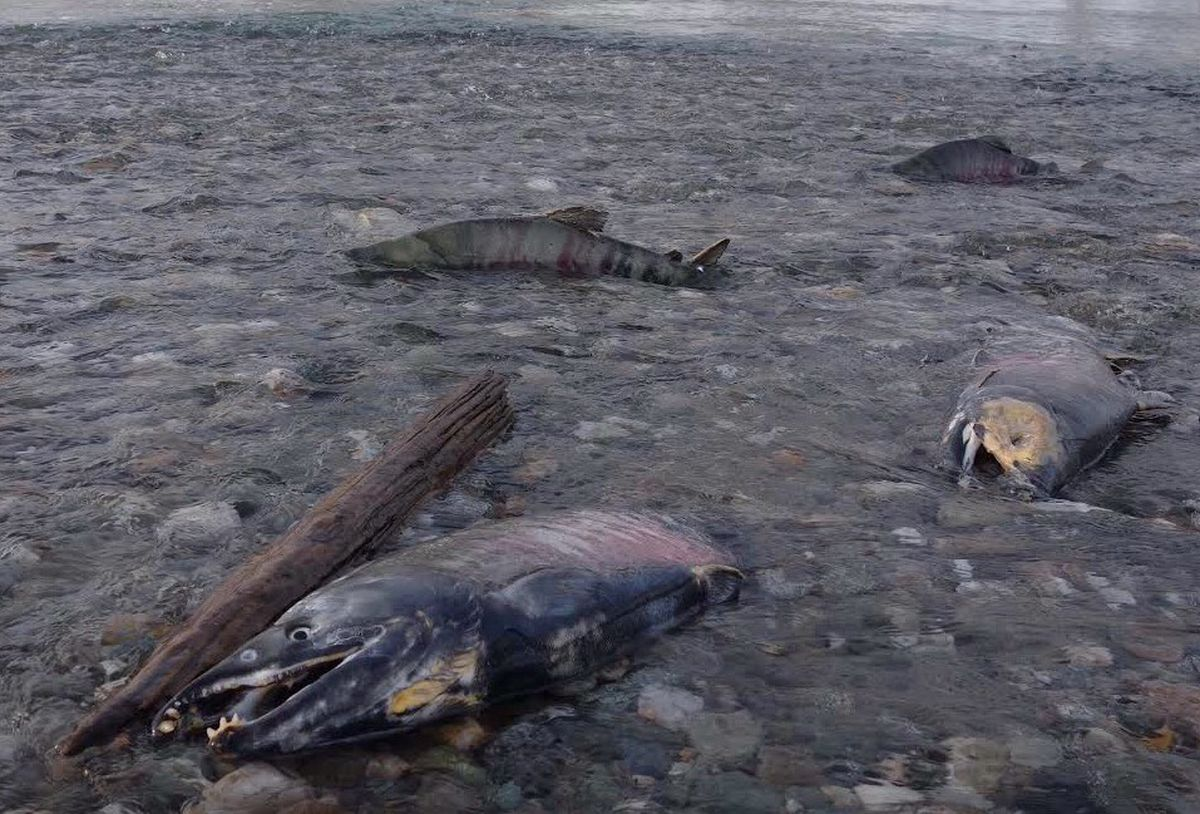 Chum salmon die after spawning while others swim on their way to spawn in the Delta River in November 2017. The Delta River meets the Tanana River, where the fish go to spawn, about 10 miles north of the town of Delta Junction. (Ned Rozell)