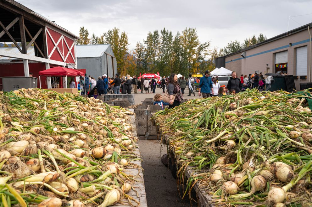 Onions lie on tables at Pyrah's Pioneer Peak Farm on Saturday, Sept. 19, 2020 during the Pyrah's fall harvest festival. The event will repeat on Saturday, Sept. 26. (Loren Holmes / ADN)