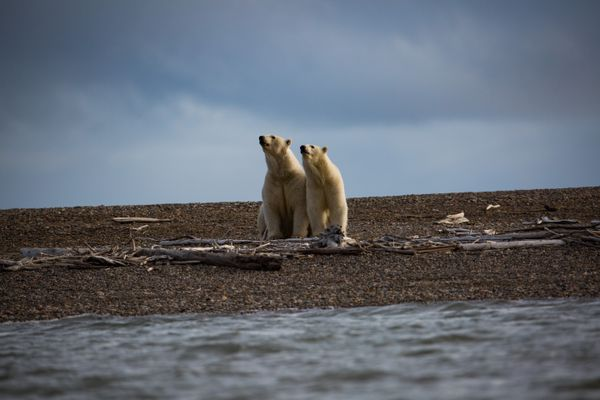 FILE-- Polar bears in Kaktovik, Alaska, within the Arctic National Wildlife Refuge, Sept. 11, 2016. The prospects for opening the refuge to oil and gas exploration are better than they have been in years. (Josh Haner/The New York Times)
