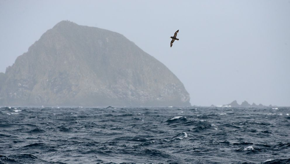 A northern fulmar soars past a small island off of Buldir Island as the U.S. Fish and Wildlife Service research boat Tiglax travels from Adak Island to Attu Island on a weeklong research mission in the Aleutian Islands, in Western Alaska, on June 2, 2015. (Bob Hallinen / Alaska Dispatch News)