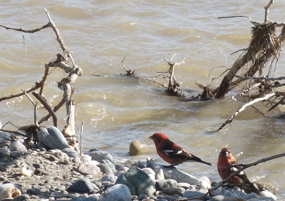 A pair of male white-winged crossbills drink from Jarvis Creek in Alaska. (Photo by Ned Rozell)
