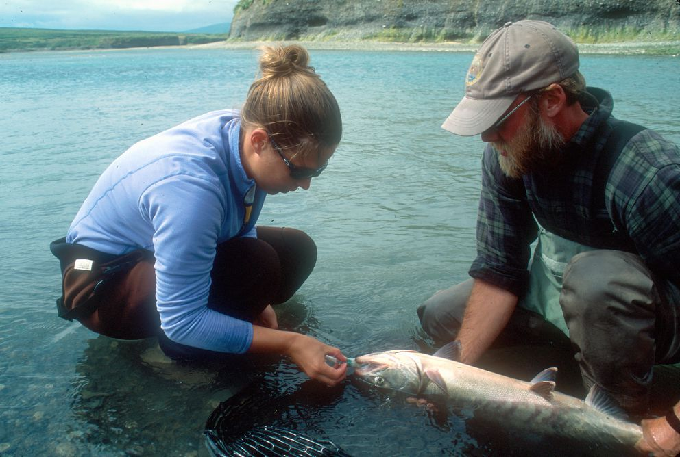 Britta Baechler inserts an esophogeal tag into a McNeil River chum in McNeil Lagoon during the first year of a radio telemetry study in August 2005. (Ted Otis / ADF&G)