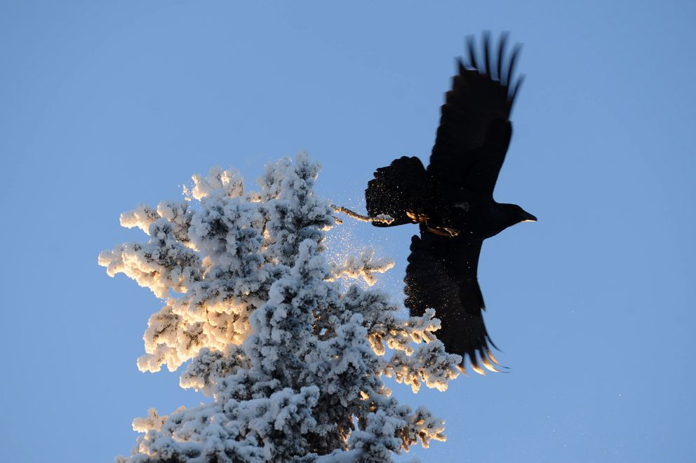 A raven moves on from a frosted spruce tree Thursday morning, Jan. 5, 2017, in Turnagain. (Erik Hill / Alaska Dispatch News)