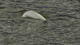 Beluga whale startles Puget Sound boaters in first Seattle-area sightings since 1940