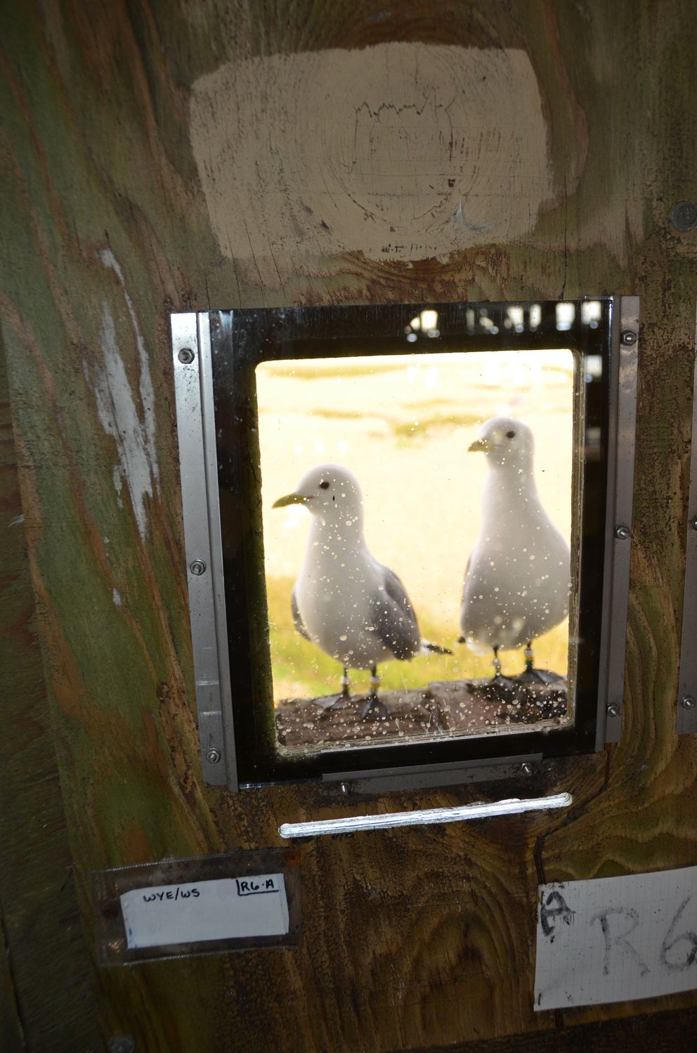 Kittiwake pair on nesting shelf in kittiwake tower, Middleton Island, May 2015. (Rick Sinnott)