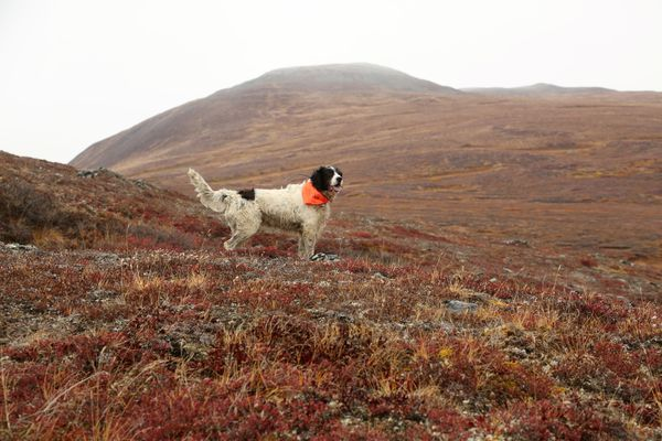 Winchester from a recent (2020) caribou and ptarmigan hunting trip off the Denali Highway. Winchester is wearing a blaze orange (or hunter orange) bandana for safety. Alaska does not require hunters to wear hunter orange clothing, but it has been found to reduce hunting accidents. (Photo by Steve Meyer)