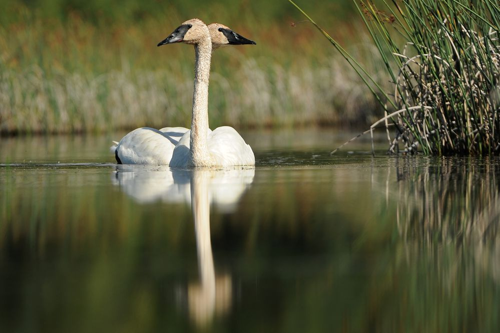 A pair of Trumpeter Swans float along Potter Marsh along the Seward Highway on Thursday, August 9, 2018. The swans stop at the marsh to feed on their migration south for the winter. (Bob Hallinen / ADN)