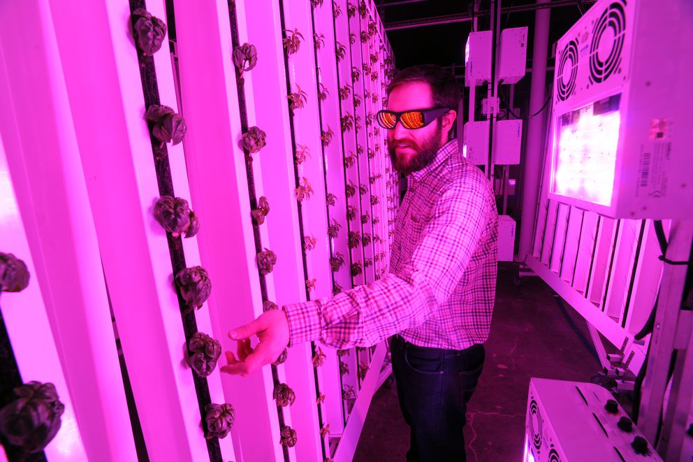 Greenhouse Manager Ryan Witten checks plants growing in vertical hydroponic towers while wearing sunglasses to protect his eyes from bright LED grow lights at Alaska Seeds of Change on Wednesday, Jan. 11, 2017, in Midtown. (Erik Hill / Alaska Dispatch News)