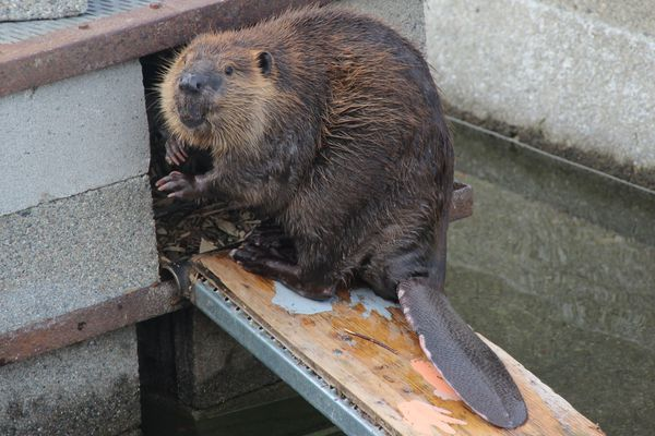 Beavers are native to North America from the Canadian tundra-line to northern Mexico. After a misguided 1946 introduction, the rodents established robust populations in Argentina and Chile. MUST CREDIT: Ben Goldfarb
