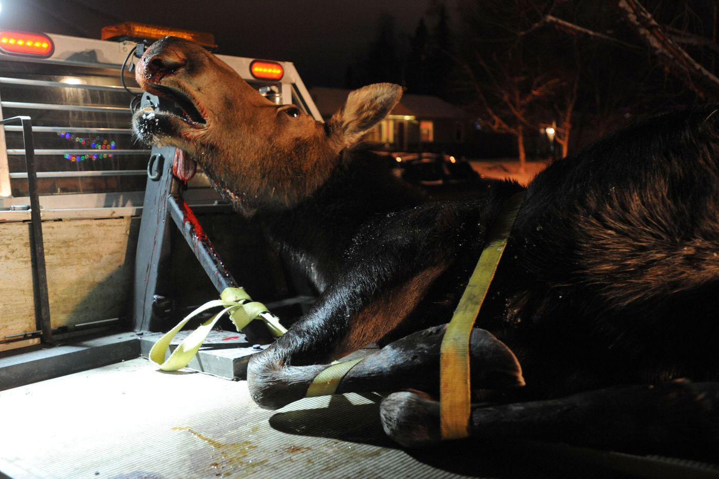 A moose, killed on the Anchorage hillside Monday evening, Dec. 14, 2015, was picked up and delivered by Moose Federation staff to a house in east Anchorage later that evening. A crew assembled to field dress the moose.