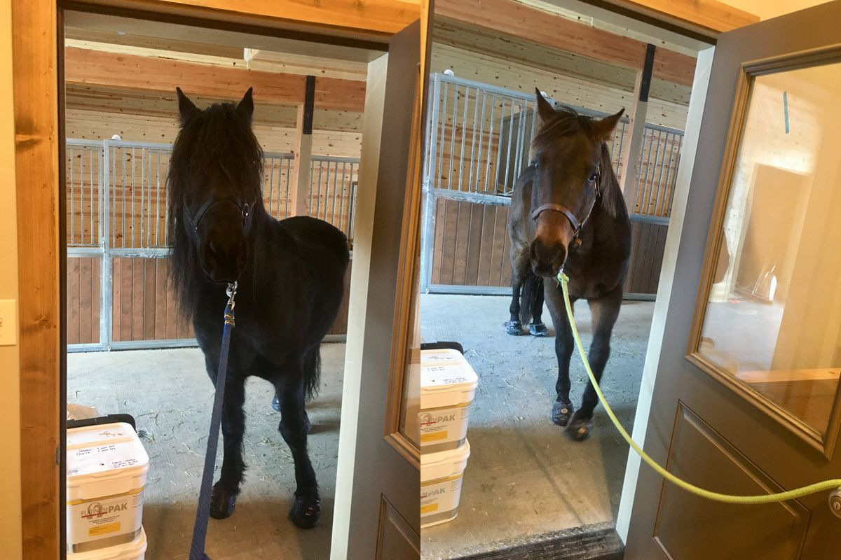 Seamus, left, and Charlie at their home in Eagle River. The horses ran away after Friday's magnitude 7.0 earthquake. (Photos courtesy of Carrie Drury)