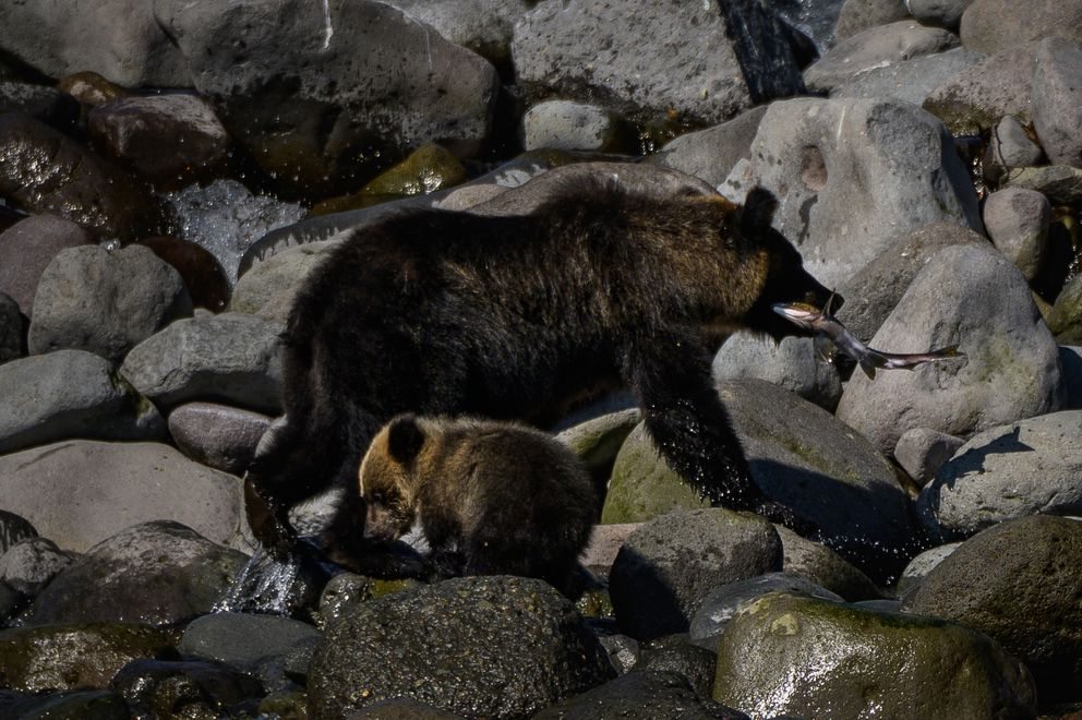 An Ussuri brown bear and a cub eat salmon after catching it from the beach of Sea of Okhotsk. (Photo for The Washington Post by Salwan Georges)