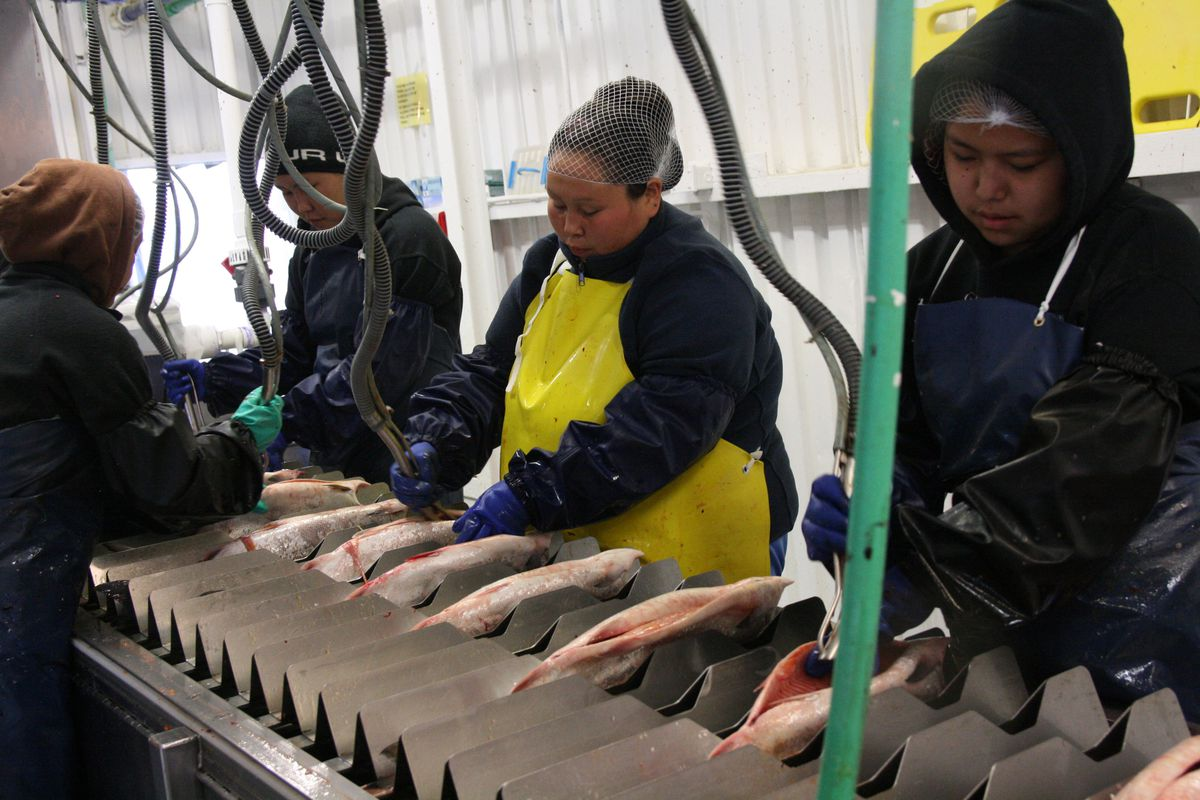 A crew works on Sunday, June 19, 2016, to gut chum salmon on a barge that functions as a head-and-gut station for Kwikpak Fisheries in Emmonak, Alaska. (Lisa Demer / Alaska Dispatch News)