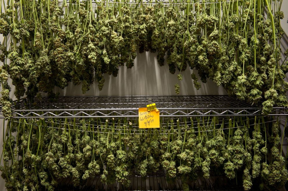 Marijuana dries at Great Northern Cannabis on September 6, 2017. (Marc Lester / ADN)