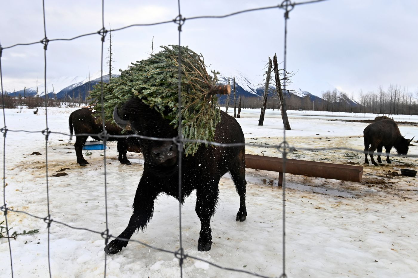 A wood bison named Luke Bryan tosses a Christmas tree around at the Alaska Wildlife Conservation Center on January 22, 2021. Curator Sarah Howard said the trees serve as an enrichment activity for the bison. (Marc Lester / ADN)