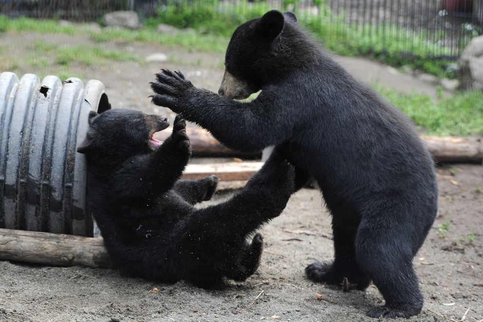 Two orphaned black bear cubs, a male from Valdez, right, and a female from Juneau, play at the Alaska Zoo on Thursday. (Bill Roth / Alaska Dispatch News)