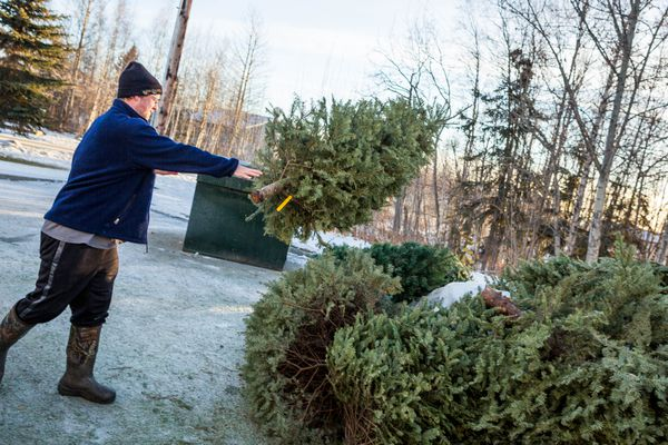 Eric Hueners drops off a tree for recycling at the Jewel Lake Carrs Store in Anchorage on Wednesday, January 7, 2014. Tall Trees is partnering with ALPAR to recycle the trees and use the wood chips to maintain trails around the city. The Christmas tree recycling program ends January 15.