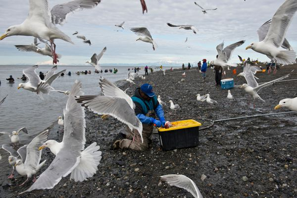 Gulls hover close as a salmon is gutted on the north side of the Kenai River's mouth. Hundreds of Alaskans lined the banks at the mouth of the Kenai River in Kenai for the sockeye salmon dipnet fishery on July 11, 2017. (Marc Lester / Alaska Dispatch News)
