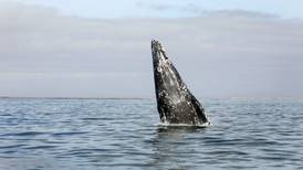 Something is killing gray whales. Is it a sign of oceans in peril?