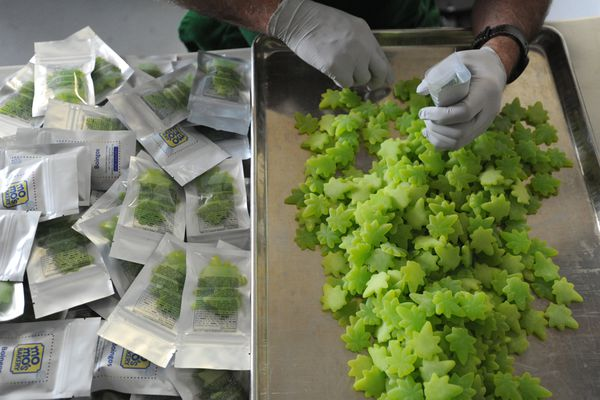 Cannabis edibles called Boingos being packaged at MoMo's Bakery in Spenard on Wednesday, June 19, 2019. Each gummy-like serving has 5mg of THC. (Bill Roth / ADN)
