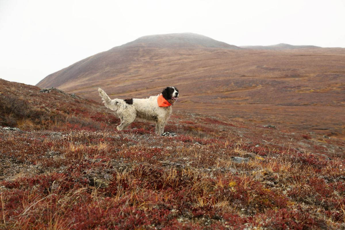 Winchester wears a blaze-orange bandana for safety. Alaska does not require hunters to wear hunter orange clothing, but it has been found to reduce hunting accidents. (Photo by Steve Meyer)