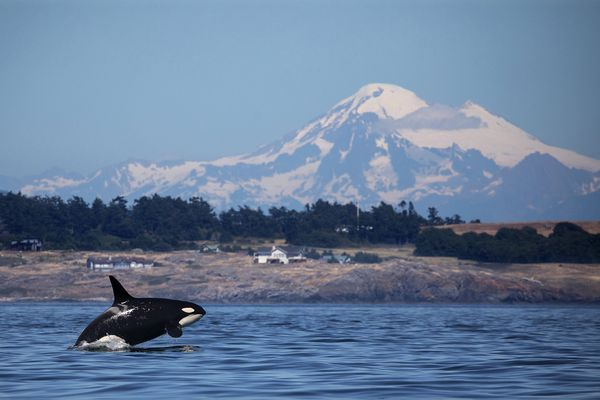 A southern resident killer whale breaches in Haro Strait just off San Juan Island's west side with Mt. Baker in the background. (Steve Ringman/Seattle Times/TNS)