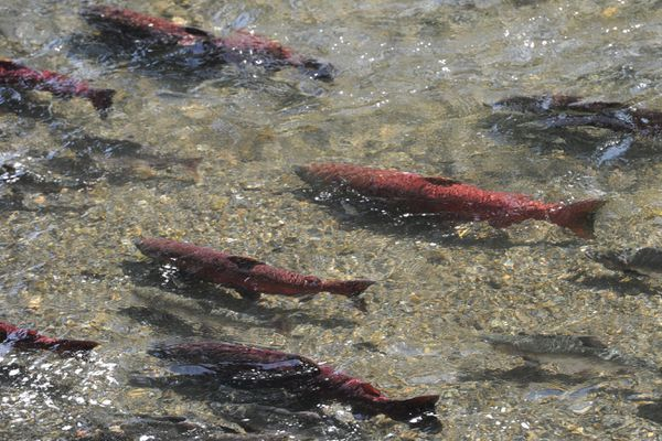 King salmon in spawning colors gather below the fish ladder, drawn by the scent of water and other fish at the William Jack Hernandez Sport Fish Hatchery on Wednesday, July 17, 2019, after returning to spawn and completing their cycle of life. (Bill Roth / ADN)
