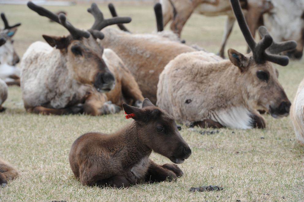 Calves are popular with visitors at the reindeer farm in the Butte. (Bill Roth / Alaska Dispatch News)