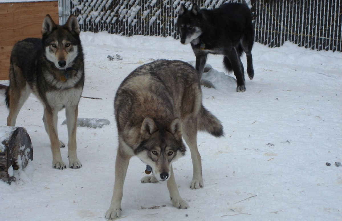 Wolf hybrids: The call of the semi-wild - Anchorage Daily News