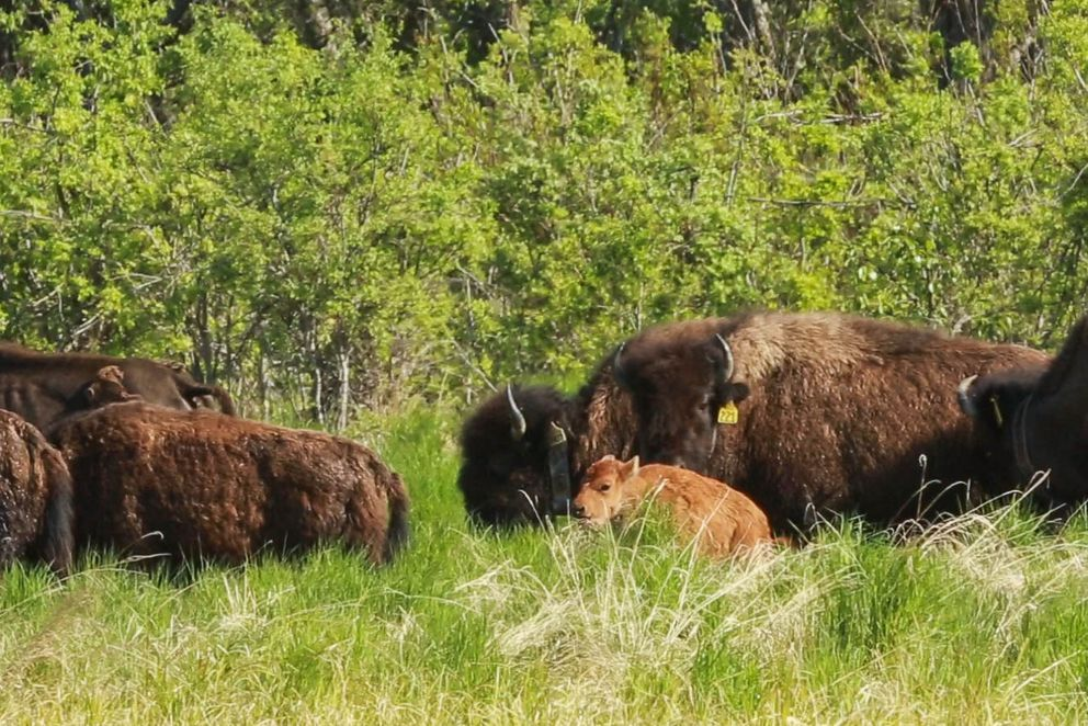A Wood bison calf forages in a sedge meadow in the Innoko River area on May 26, 2016. (Loren Holmes / Alaska Dispatch News)